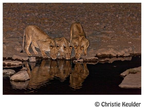 lions etosha